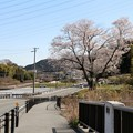 新城市を流れる宇利川に架かる今水橋よりの「今水桜」