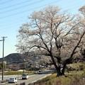 県道69号線の脇に立っている「一本桜の今水桜」
