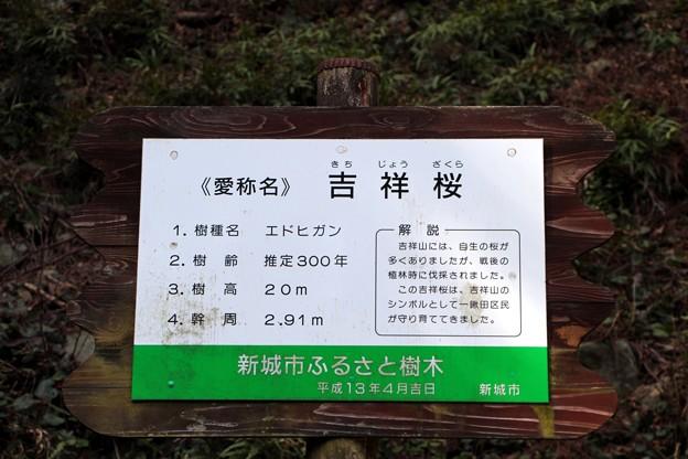 新城市ふるさとの樹木「吉祥桜」解説