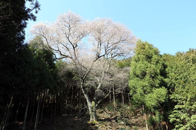 山中に1本だけ堂々とした咲き始めの吉祥桜