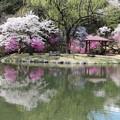 写真: 小島の桜