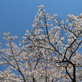 桜を見上げる