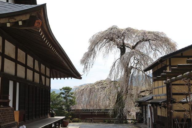 東漸寺のしだれ桜
