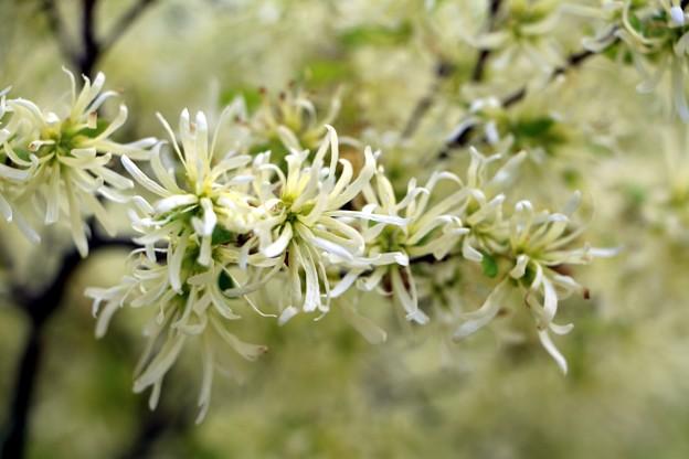 花弁は4個で卵形、先端がよじれています。