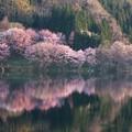 オオヤマ桜の水鏡