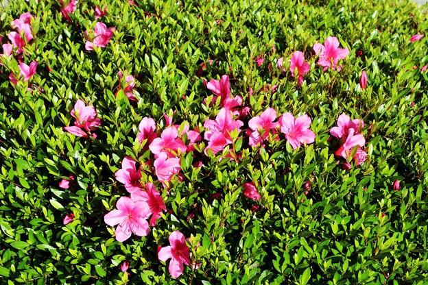 写真: 庭木の咲き始めたサツキツツジ