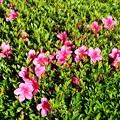 庭木の咲き始めたサツキツツジ