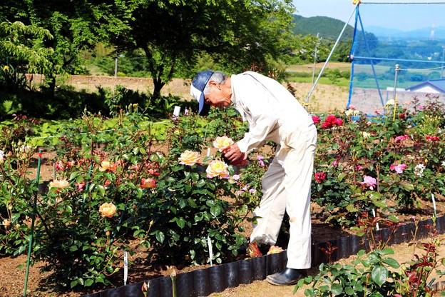 バラを手入れ中の松井さん