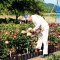 写真: バラを手入れ中の松井さん