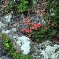 写真: 岩ツツジ
