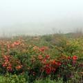写真: 濃霧のレンゲツツジ