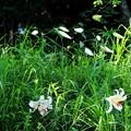 写真: 斜面にヤマユリの開花