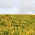 写真: ニッコウキスゲ群落