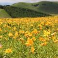 写真: ニッコウキスゲの黄色いジュウタン