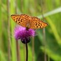 アザミにヒョウモン蝶