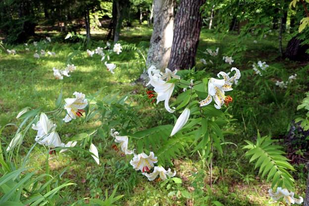 林の中に咲き誇るヤマユリ