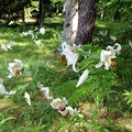 IMG_0163林の中に咲き誇るヤマユリ