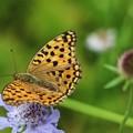 マツムシソウに蝶