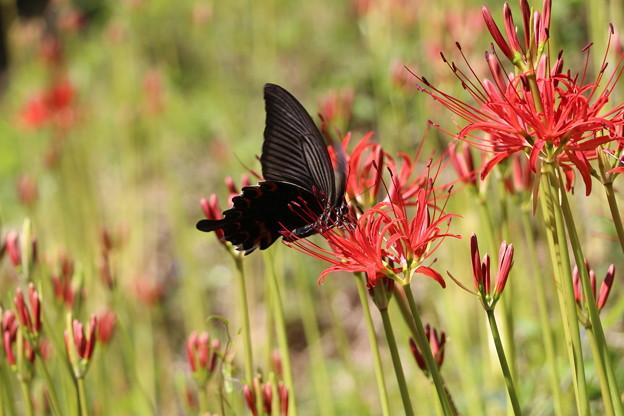 彼岸花にクロアゲハ蝶