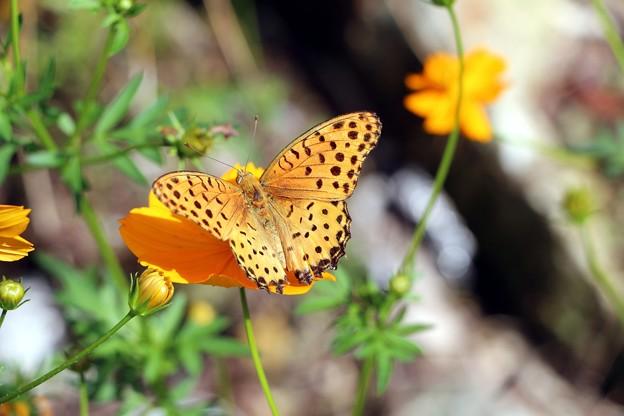 キバナコスモスに蝶