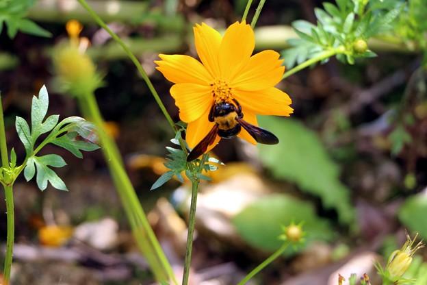 キバナコスモスに蜂