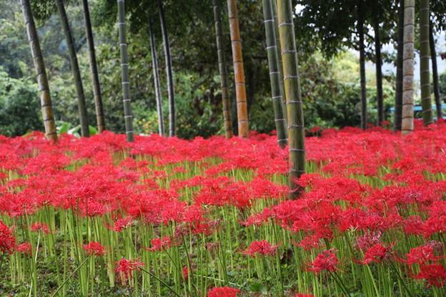 竹林の彼岸花