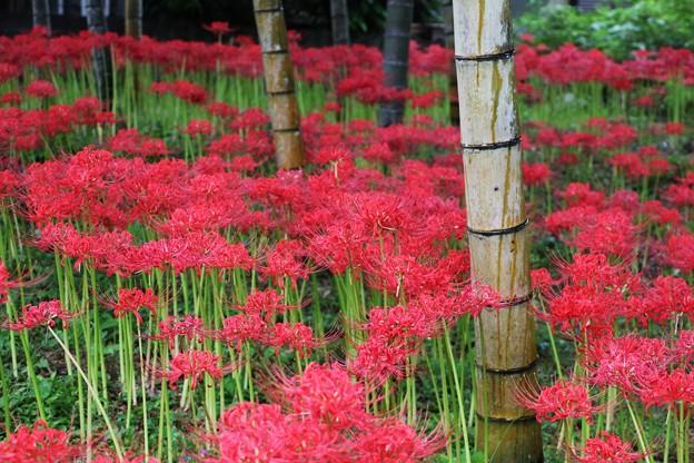 彼岸花に囲まれた竹林