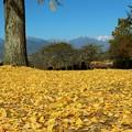 Photos: 銀杏の絨毯と北アルプスを望む