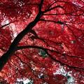 写真: 血染めの楓の紅葉