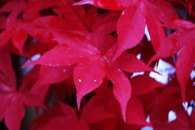 写真: 血染めの楓