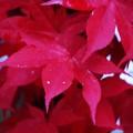 血染めの楓