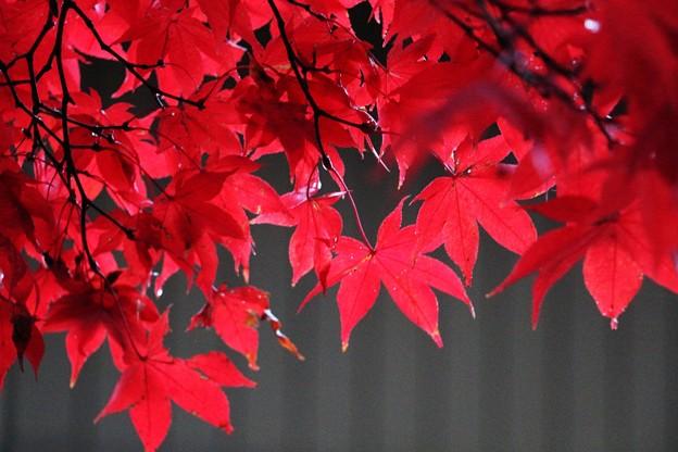 一行楓の紅葉