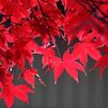 写真: 一行楓の紅葉