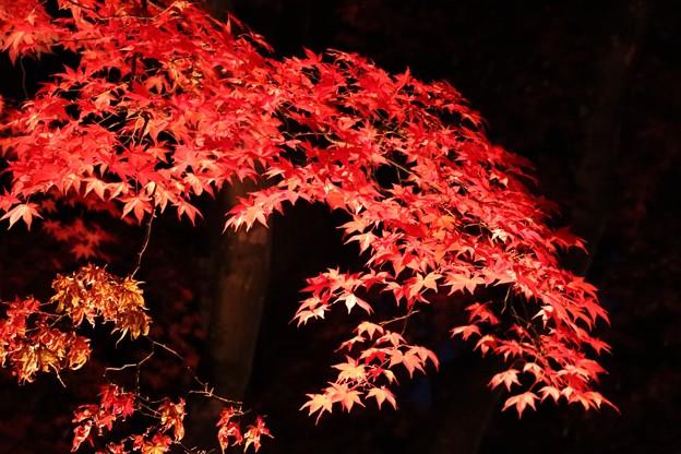 ライトに浮かぶ楓の紅葉