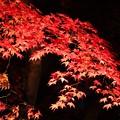 写真: ライトに浮かぶ楓の紅葉