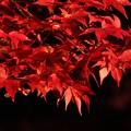 Photos: 一行楓の紅葉