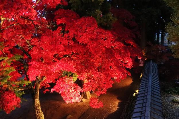 楓の紅葉を見下ろす