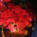 写真: 楓の紅葉を見下ろす