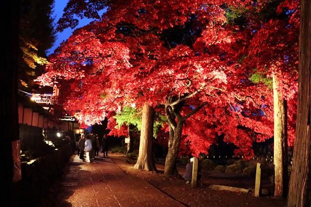 参道のライトに浮かぶ楓の紅葉