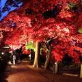 写真: 参道のライトに浮かぶ楓の紅葉