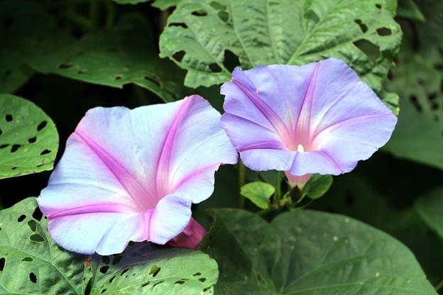 秋の花ヘブンリーブルー