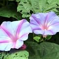 写真: 秋の花ヘブンリーブルー