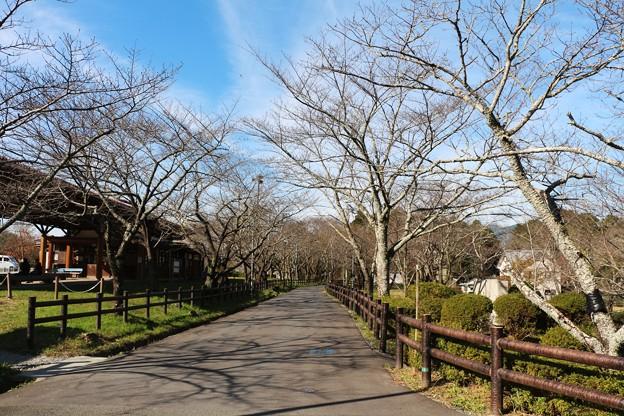 春には満開の桜並木