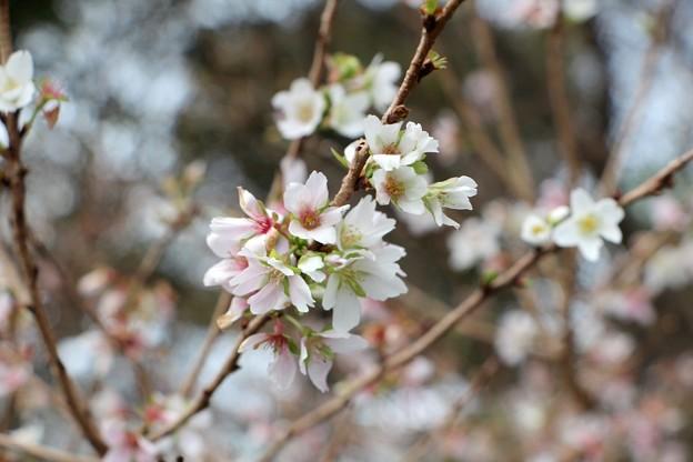 年に二度咲く四季桜