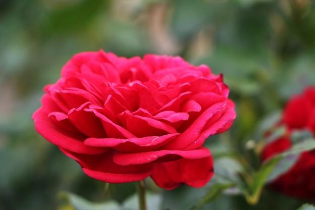 薔薇「ゴールドフィンチ」