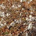 Photos: シュウメイギクの綿毛