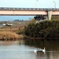 Photos: 賀茂橋の豊川に二羽のオオハクチョウ
