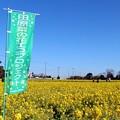 加治町の約25ヘクタールの菜の花畑