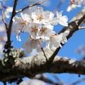 今水桜「江戸彼岸桜」