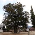 西岸寺樹高18mのカヤ(飯島町天然記念物)